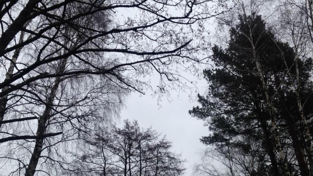 Northern winter treetops